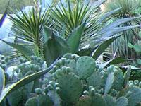 ets kuentz vente de cactus cact es plantes grasses succulentes plantes cailloux fr jus. Black Bedroom Furniture Sets. Home Design Ideas