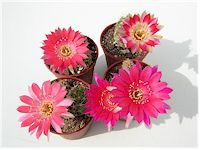 Echinopsis backebergii (=Lobivia backebergii) R456   - Pot  5 cm
