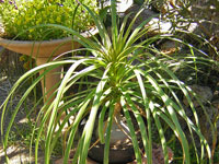 Nolina recurvata beaucarnea pot 14 cm kuentz cactus for Plantes vertes retombantes