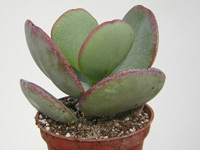 Crassula arborescens   - Pot  8 cm