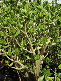 Autres plantes grasses kuentz cactus for Plante grasse arbuste