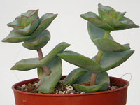 Crassula perforata 'Giant Form'