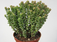 Crassula rupestris 'Tom Thumb'   - Pot  5 cm