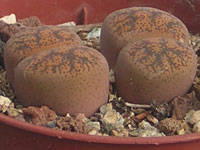 Lithops lesliei  var. minor C 6   - Pot  5 cm