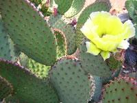 plantes rustiques kuentz cactus. Black Bedroom Furniture Sets. Home Design Ideas