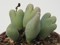 Conophytum bilobum var. variabile en v�g�tation