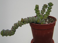 Crassula 'Baby's Necklace'   - Pot  5 cm