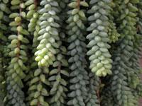 Plantes retombantes kuentz cactus - Plante grasse retombante ...