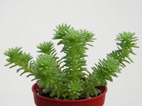Sedum multiceps   - Pot  5 cm