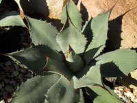 Agave potatorum   - Diamètre 17-20 cm