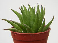 Haworthia angustifolia   - Pot  5 cm
