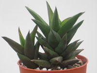 Haworthia tortuosa var. major   - Pot  6 cm