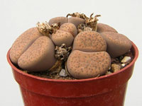 Lithops fulviceps  C266   - Pot  5 cm