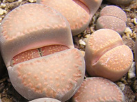 Lithops villetii ssp. kennedyi   - Pot  5 cm