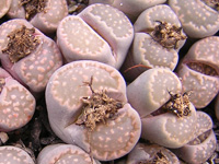 Lithops salicola ''Maculate form'' C86   - Pot  5 cm