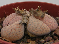 Lithops fulviceps var. lactinea C222   - Pot  5 cm