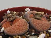 Lithops fulviceps  C170   - Pot  5 cm