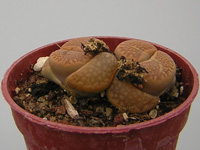 Lithops hallii ''Brown form'' C136   - Pot  5 cm