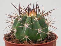 Melocactus pachyacanthus  HU407