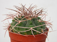 Gymnocalycium guanchinense P226   - Pot  5 cm