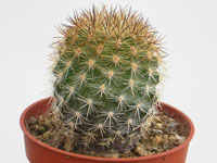 Eriosyce chilensis  (=Neoporteria chilensis) RCP03
