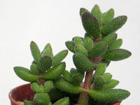 Crassula hirtipes   - Pot  5 cm