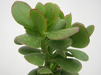 Crassula ovata 'Green Bird'   - Pot 10 cm
