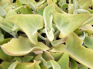 Kalanchoe beharensis   - Pot 10 cm