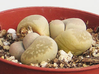 Lithops optica C 81   - Pot  5 cm