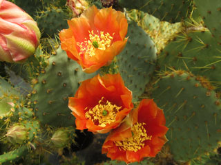 Opuntia 'Orange Troussel'   - Bouture