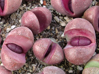 Pleiospilos nelii 'Royal Flush'   - Pot  5 cm
