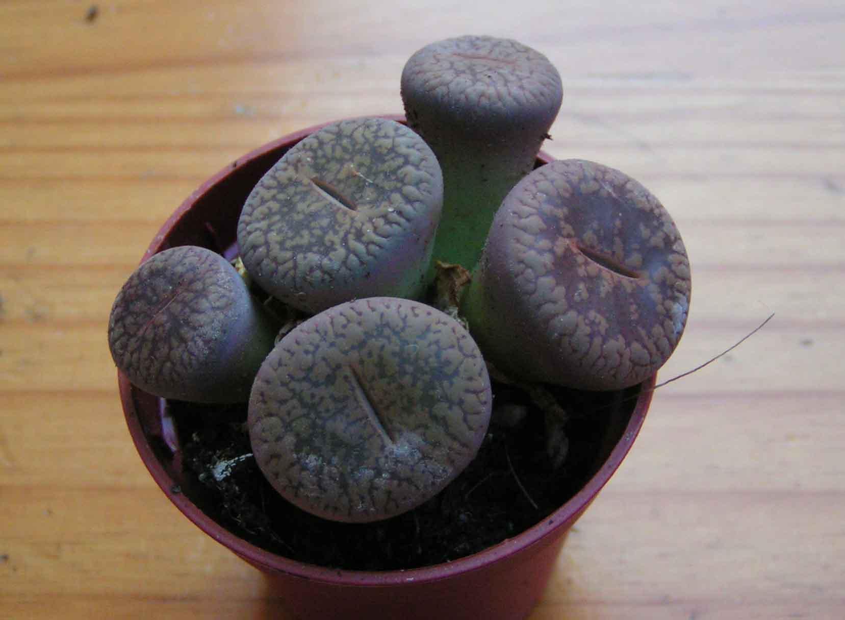 Plante callisia for Conseils en jardinage