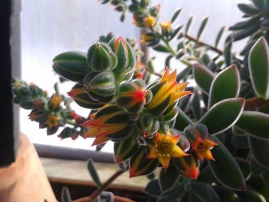 identification d une plante grasse