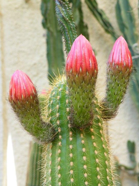 trichocereus huascha en fleurs