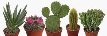 ets kuentz le monde des cactus producteur depuis 1907. Black Bedroom Furniture Sets. Home Design Ideas
