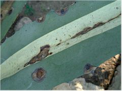 Anthracnose sur Agave americana